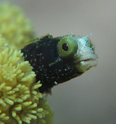 spinyhead blenny...apnea shoot by Durand Gerald 